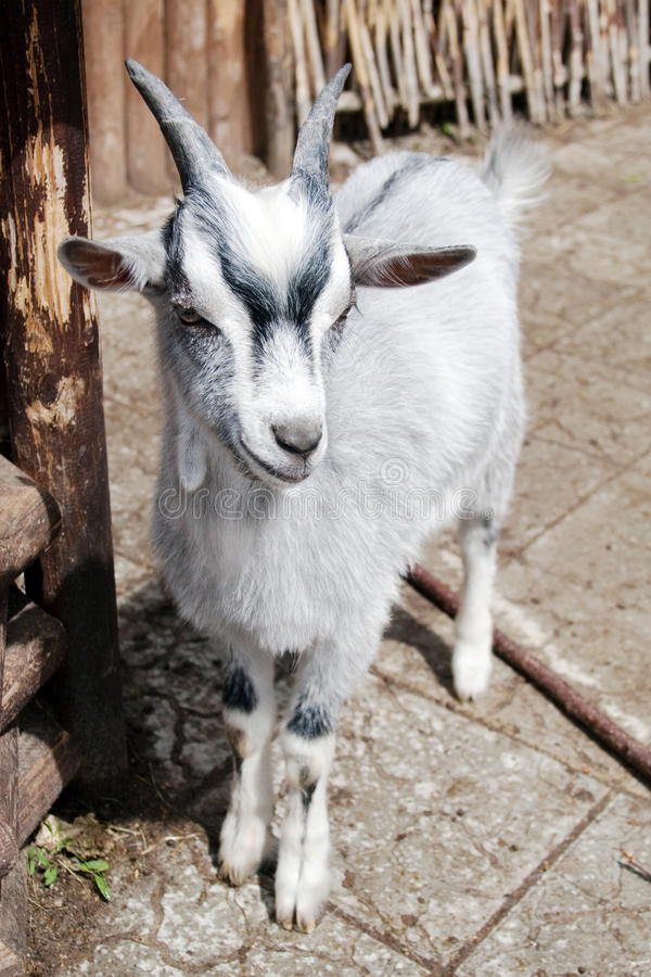 Download Little goat stock image. Image of mammal, child, agriculture - 14717807
