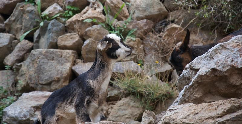 Little goat climbing a rocky path towards friend. A little goat climbs a steep rocky path, another small brown goat in the background royalty free stock photography
