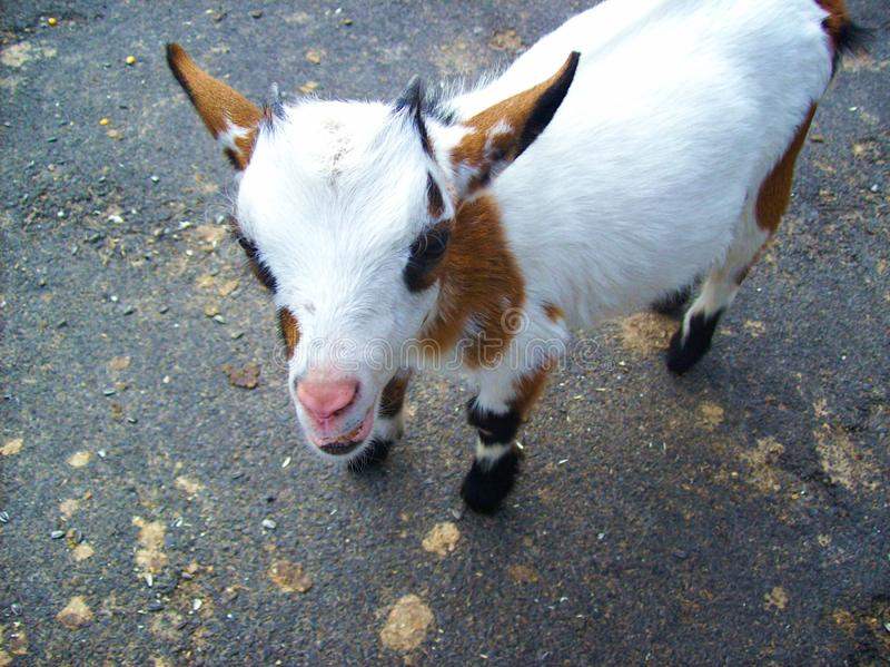 Little goat with cute look. Cute holland pygmy goat is standing on the way and smiling stock photo