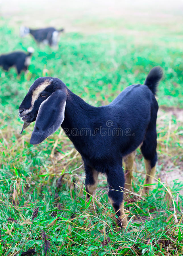 Little goat is grazed on pasture. On background of flock royalty free stock photography