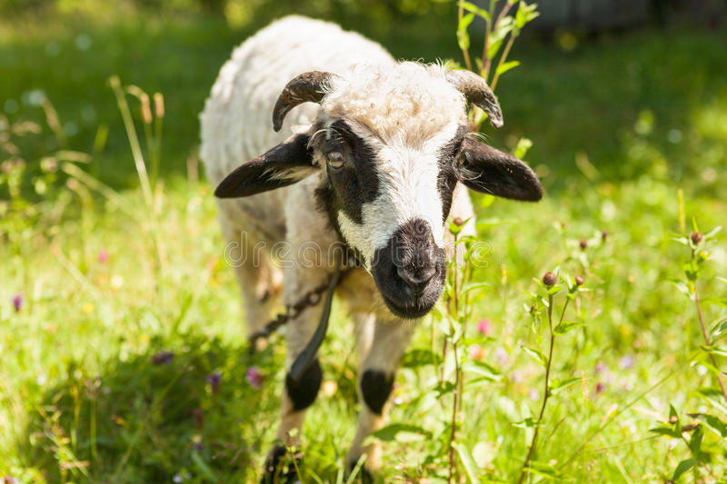 Little goat grazing in the field royalty free stock photography