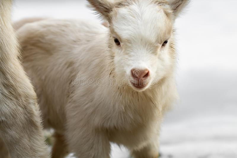 A little goat looks into the camera royalty free stock photography