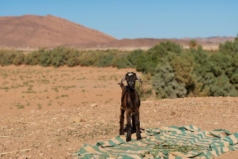 Little goat in the middle of the desert with a blanket on the ground. In mid of day stock images