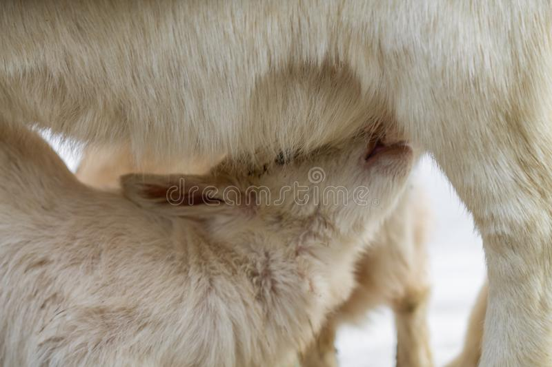 A little goat sucks milk from the mother royalty free stock photo