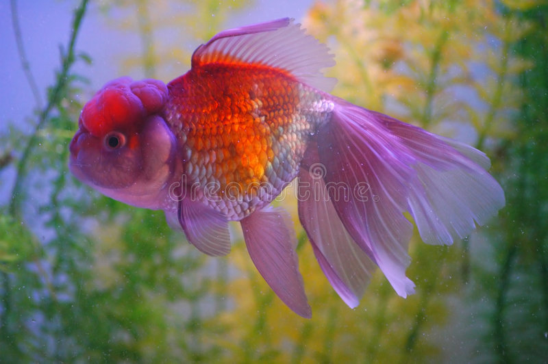 Little Gold Fish royalty free stock photo