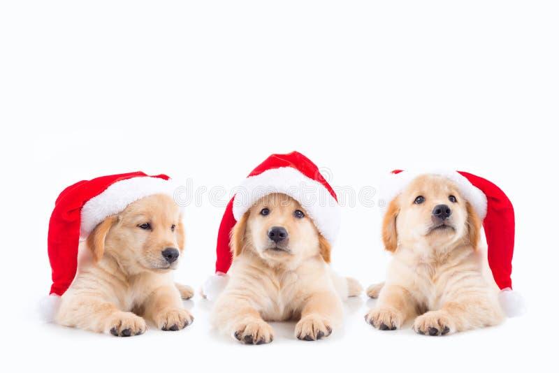 Little golden retriever dogs wearing christ mas hat. Group of three little golden retriever dogs wearing christ mas hat over white background royalty free stock photography