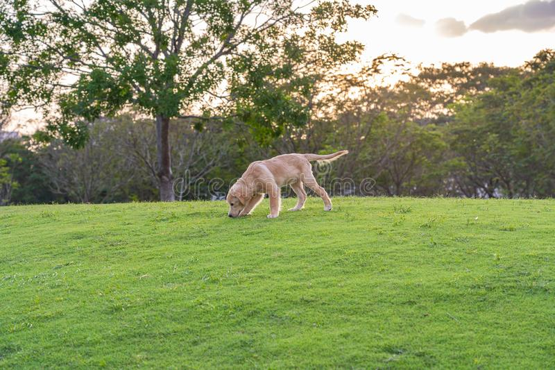 Little golden retriever puppy wandering at the park stock photos