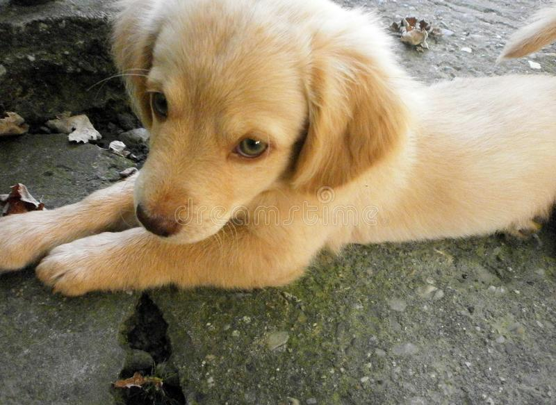The little golden retriever watches royalty free stock photography