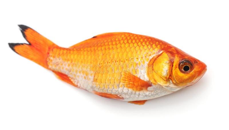 Little goldfish. royalty free stock image