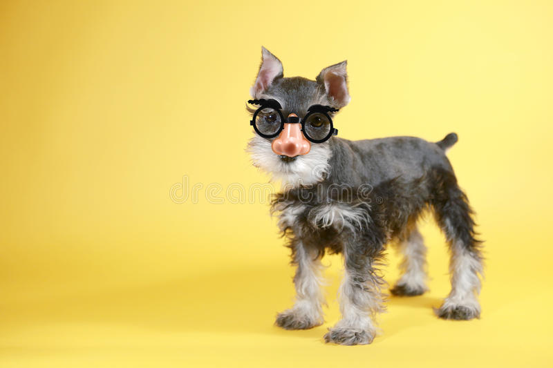 Little Goofy Minuature Schnauzer Puppy Dog Stock Photo