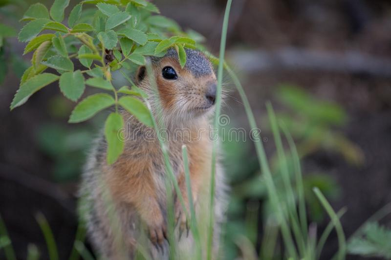 Gopher from grass. Little gophers got out of the hole and look out of the grass and study nature royalty free stock photos