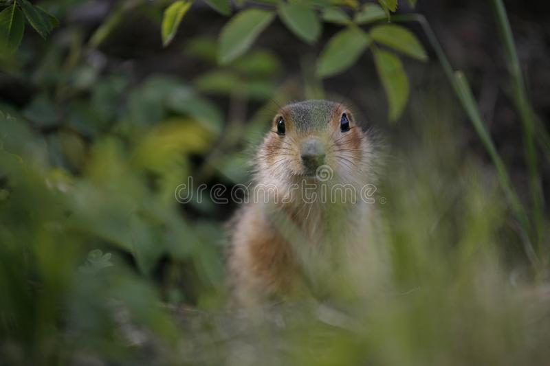 Gopher from grass. Little gophers got out of the hole and look out of the grass and study nature stock photo