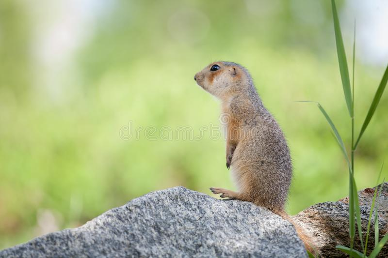Gopher on stone. Little gophers got out of the hole and look out of the grass and study nature royalty free stock photography
