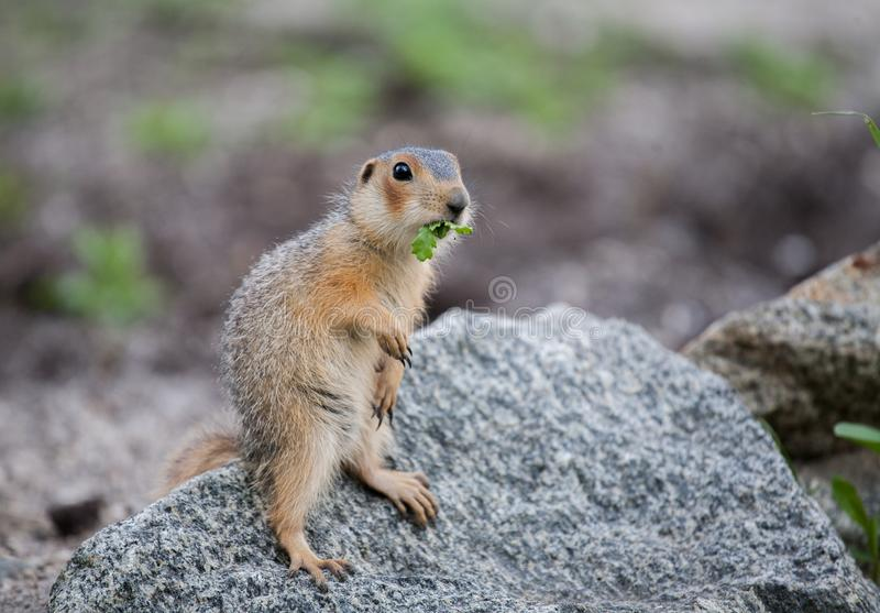 Gopher on stone. Little gophers got out of the hole and look out of the grass and study nature royalty free stock image