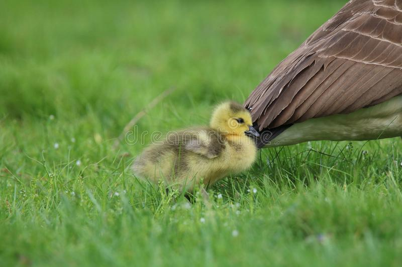 Little Gosling Staying Close to Mother Goose royalty free stock images