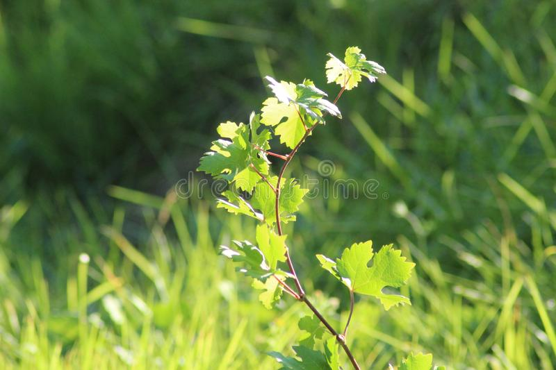 The Little grape branch in the beautiful Tuscan landscape in Italy. royalty free stock images
