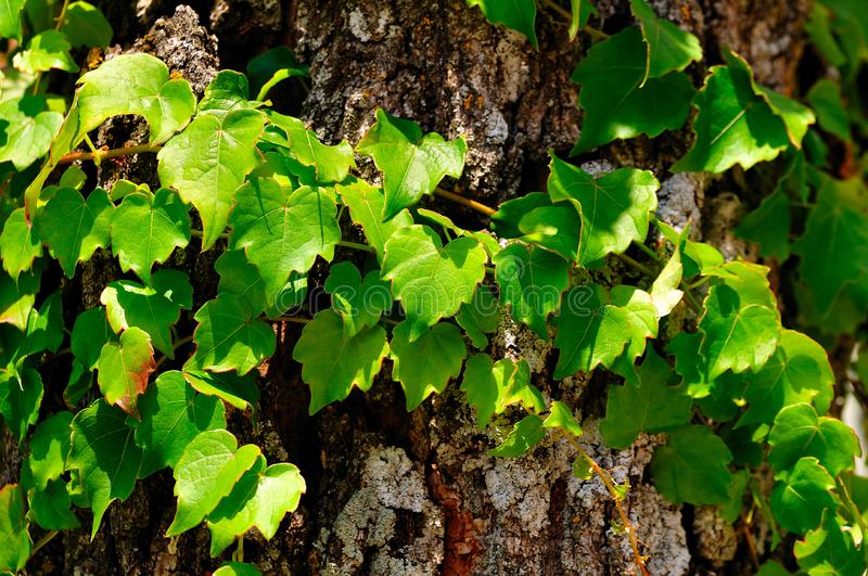 Download Little Grape on a Log  2 stock photo. Image of leaves - 5897712