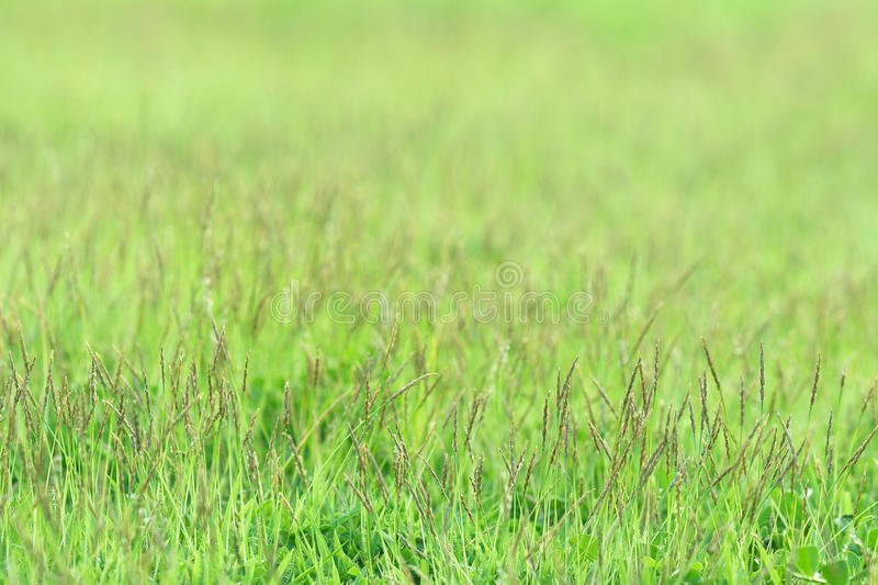 Download Little Grass On Green Sward Royalty Free Stock Photo - Image: 15236495