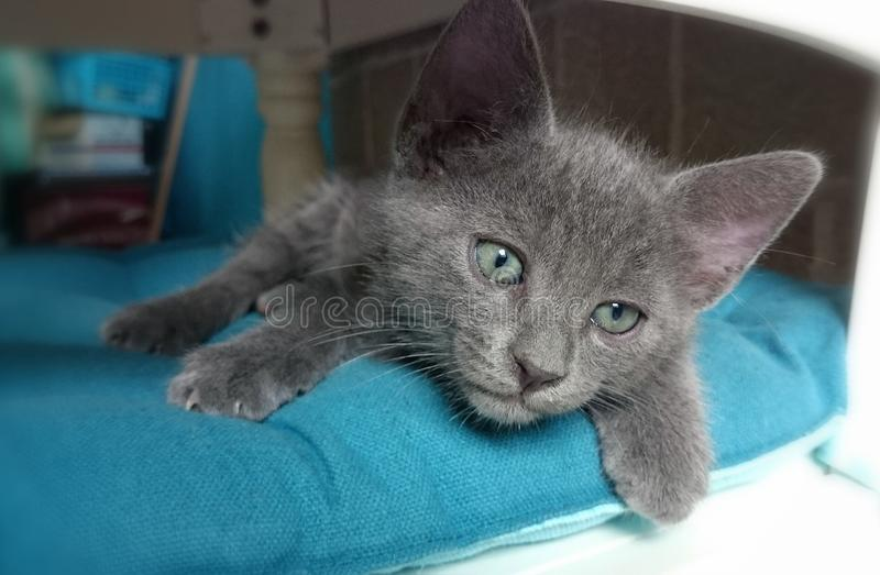 Little gray cat. Relax on the chair with blue pillow royalty free stock photos