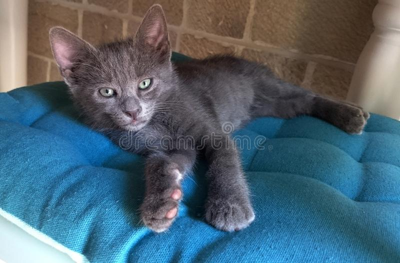 Little gray cat. Relax on the chair with blue pillow stock images
