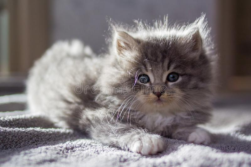 Little gray fluffy kitten maine coon looking at camera. Kid animals and cats concept royalty free stock images