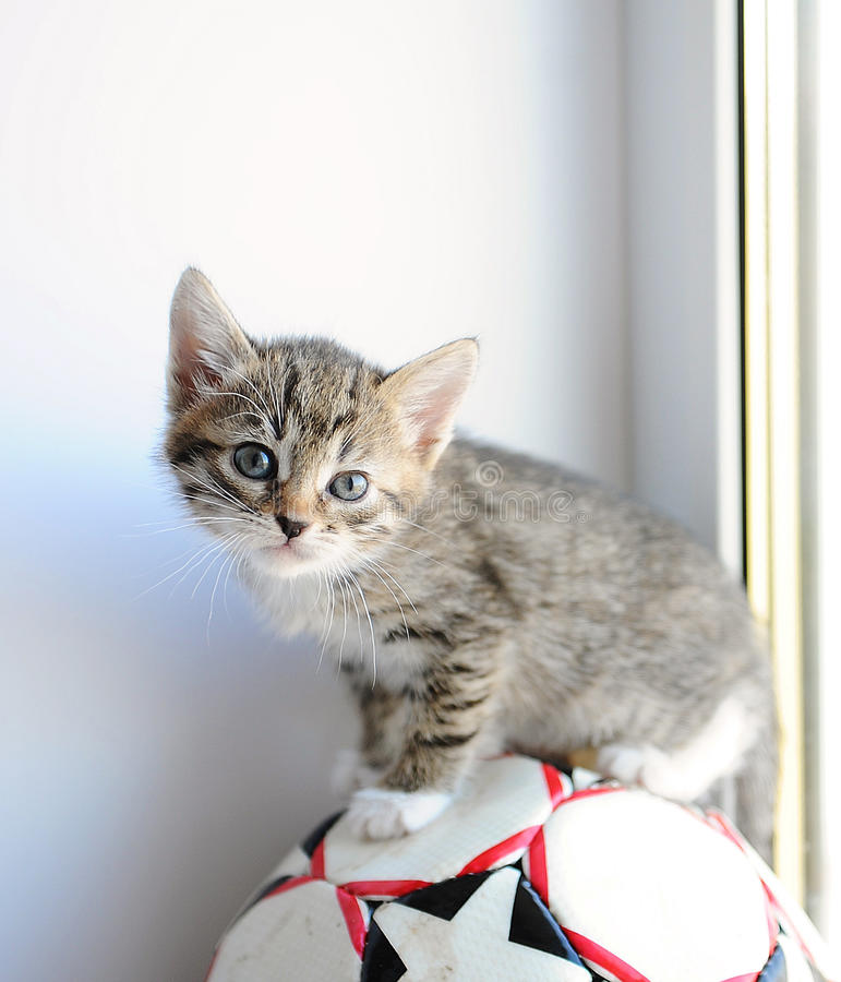 Little gray fluffy kitten on a sports ball. Near the window stock images