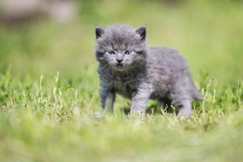 Little gray kitten among the green grass stock images