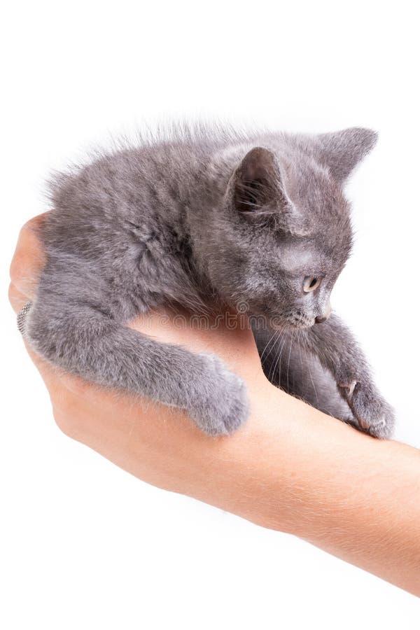 Little gray kitten in left man`s hand. Little gray kitten in man`s hand. Close-up, selective focus, isolated on white background stock photo
