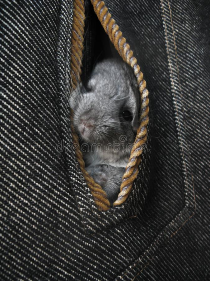 Little gray newborn chinchillas look out of coat pocket. Offspring Little fur funny cute home animal chinchilla. Little gray newborn chinchillas look out of coat royalty free stock photos