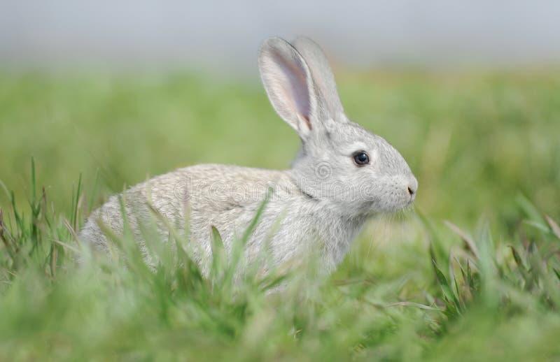 Download Little Gray Rabbit Stock Image - Image: 24979331