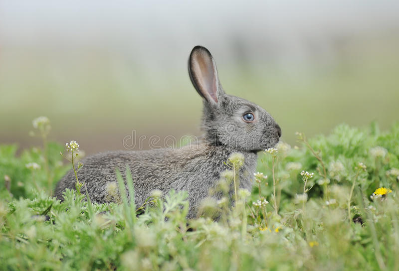 Download Little gray rabbit stock photo. Image of nature, white - 24979338