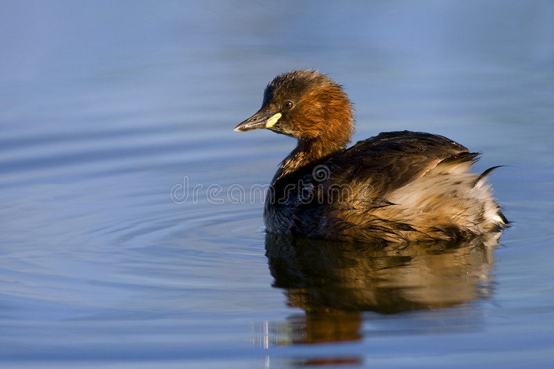 Download Little Grebe stock photo. Image of animal, natural, bird - 7249084