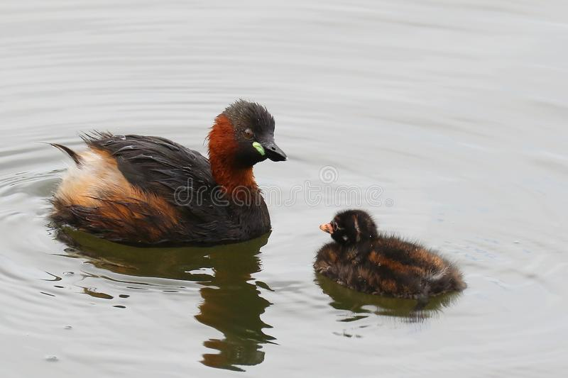 Little Grebe And Chick. 