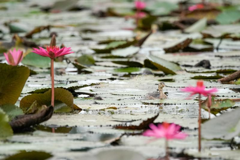 A little grebe flapper swim in a  pink lotus lake. Thailand stock photography