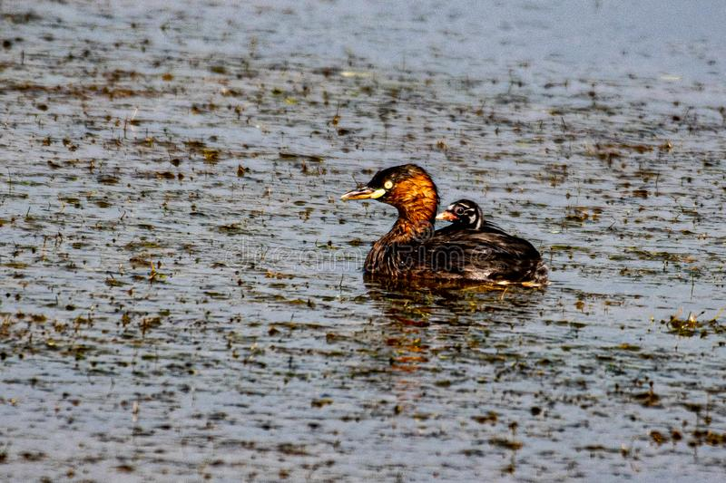 Little Grebe is very happy royalty free stock photo
