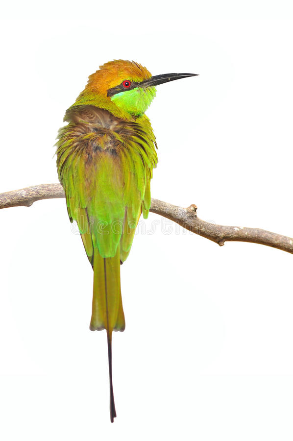 Download Little green bee-eater stock image. Image of wild, background - 26535761