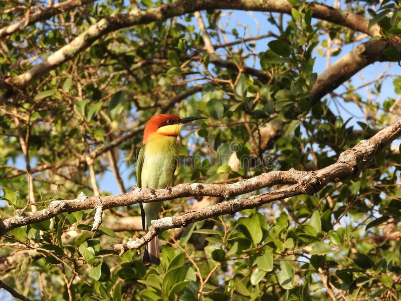 Little green bee eater sitting on a branch, nature Sri Lanka. royalty free stock images