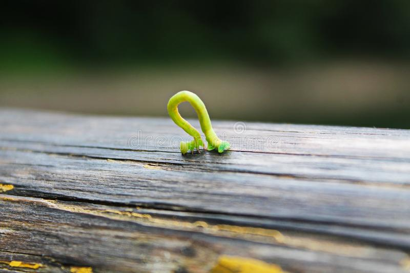 Little green caterpillar. On a wooden board royalty free stock photo