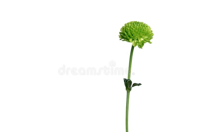 Little green chrysanthemum in a male hand on a white background, isolate. Close-up. Copy space.  royalty free stock images