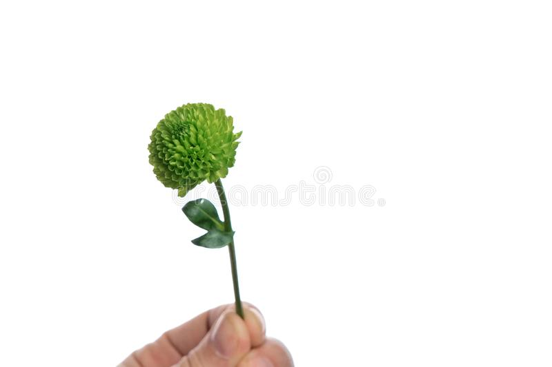 Little green chrysanthemum in a male hand on a white background, isolate. Close-up. Copy space.  stock photography