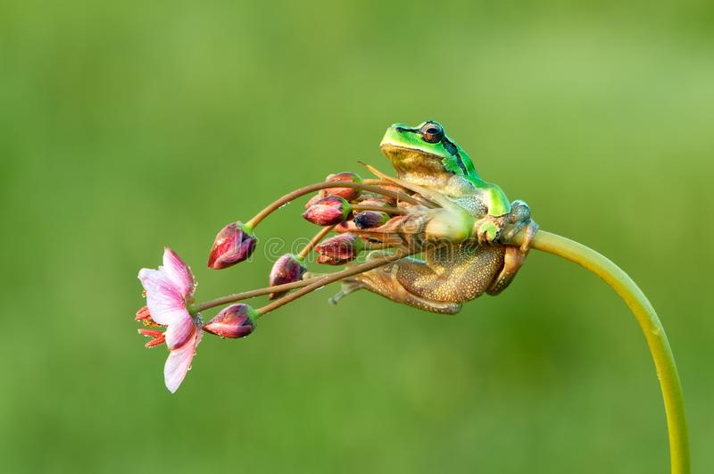 Little green frog Hyla arborea sits on a flower. By the lake  a summer morning stock images
