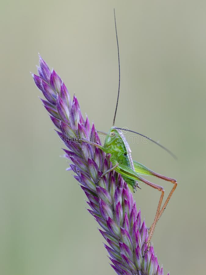 Little green grasshopper on a bent. Little green grasshopper with long legs and antennas on a bent. Close up stock photography