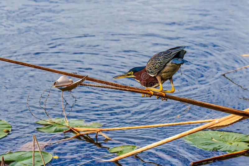 Little Green Heron Myakka River Park Florida royalty-vrije stock fotografie