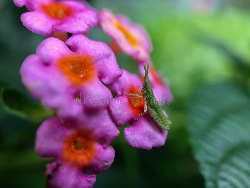 A little green insect on pink flowers stock image
