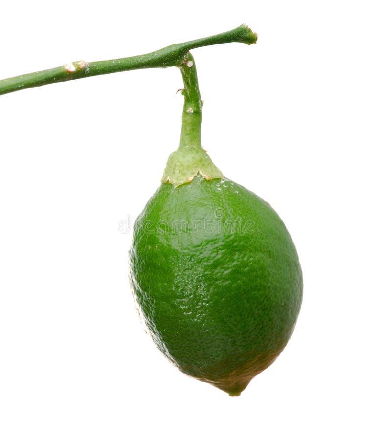 Little green lemon stock image