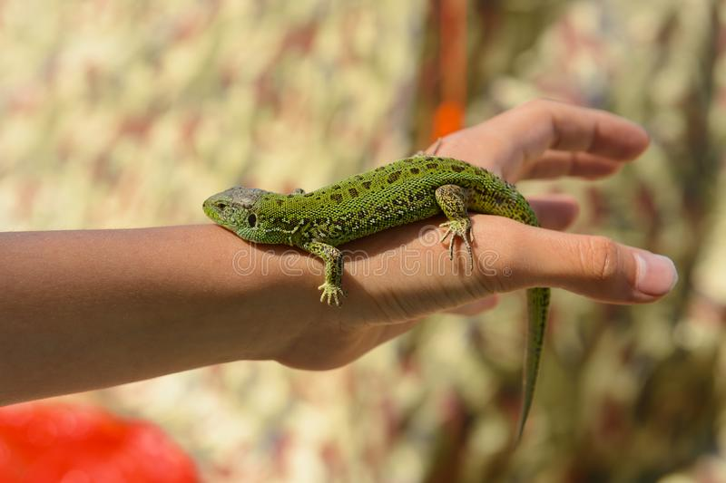 Little green lizard crawling. On the arm stock photography