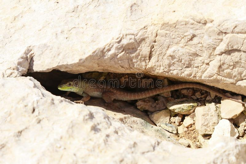 Little green lizard hid in a stone crevice royalty free stock photo