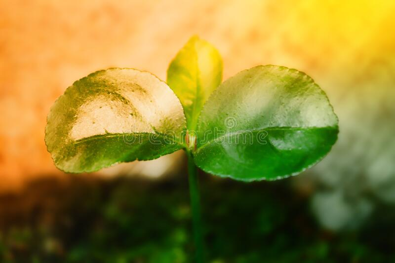 Little green plant growing up  under sunrise stock photography