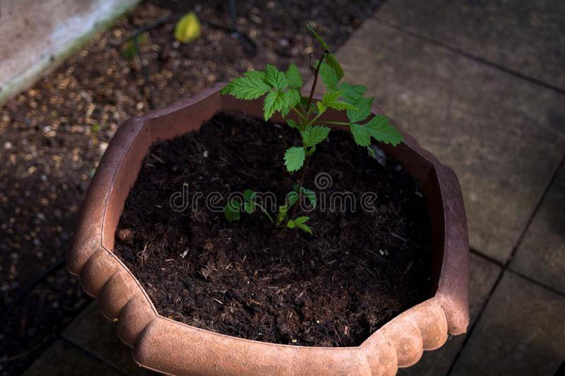 Little green plant in tha shadow. Green seedlings in the flower pot. Closeup image of green plant in the soil. Agriculture concept. Little green plant in tha stock images