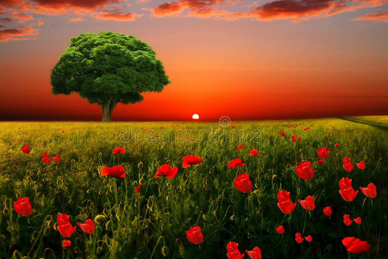 The little Green tree. And meadow of poppies royalty free stock photos